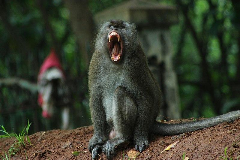 Monyet Ekor Panjang Rusak Ladang Petani Gunung Kidul