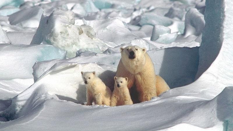 Perubahan Iklim, Beruang Kutub Terancam Punah