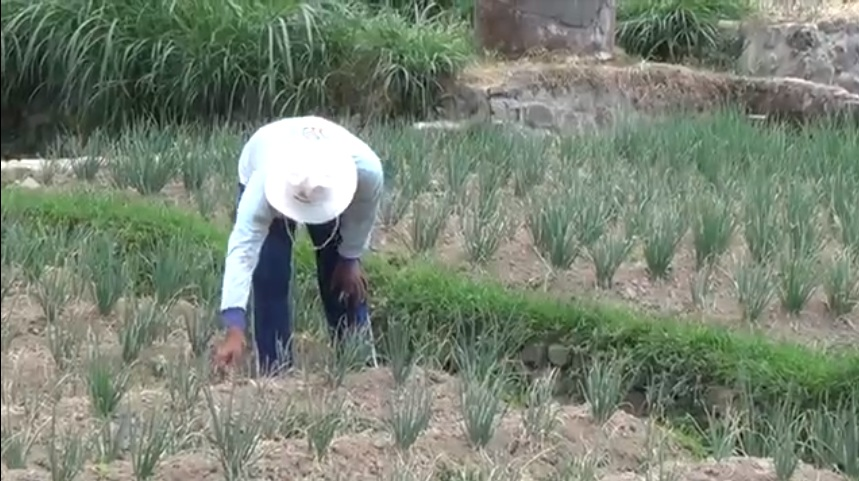Petani Bawang di Lereng Lawu Merugi