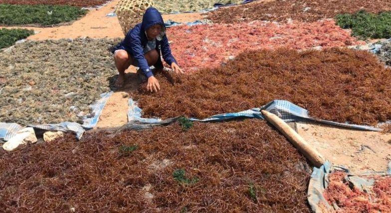 Rumput Laut Selamatkan Warga Bali (2-Habis)