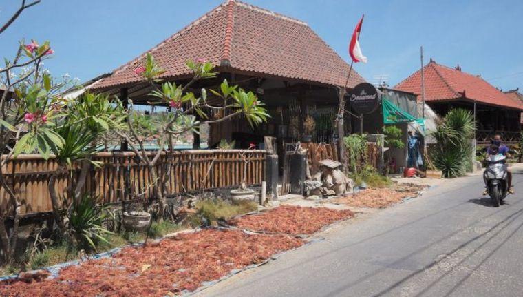 Rumput Laut Selamatkan Warga Bali (1)