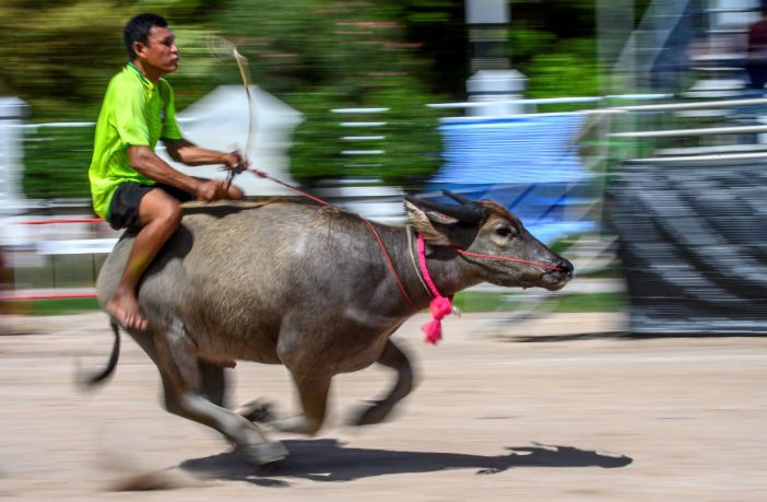 Balap Kerbau di Thailand