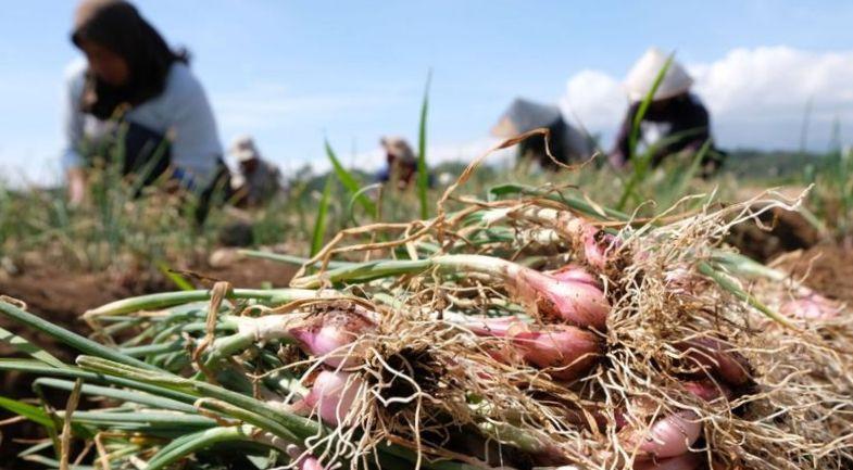 Derita Petani di Tengah Pandemi (1)