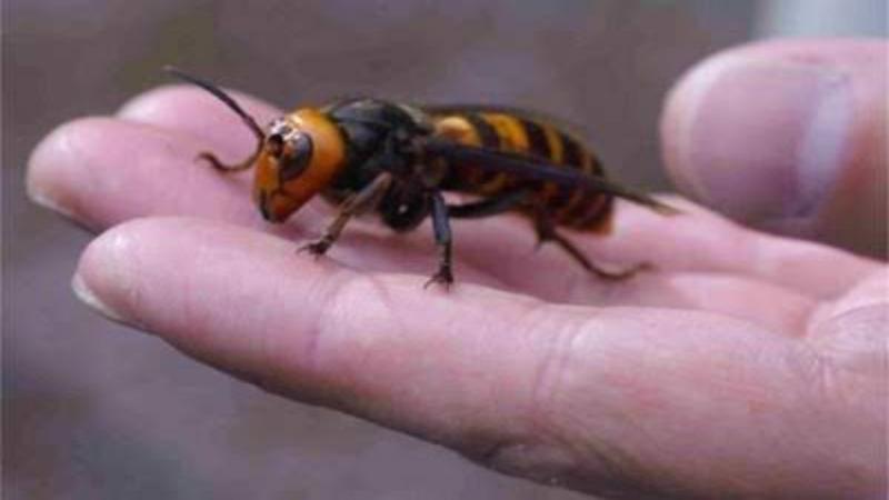 Warga Washington Khawatir Serangan Lebah Raksasa