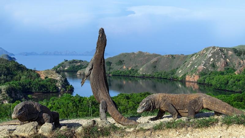 "Mengenal Proyek ""Jurasik Park"" di Pulau Rinca (1)"