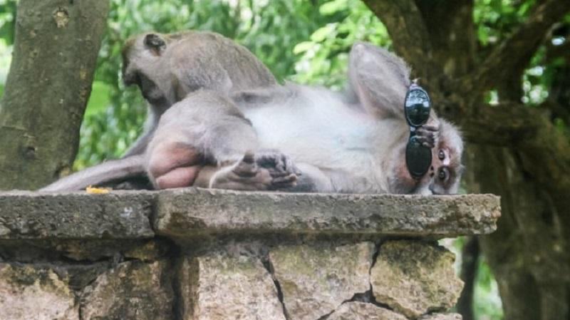 Monyet Bali Tahu Barang Mahal (2-habis)